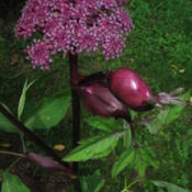 Photo of Purple Angelica (Angelica gigas)
