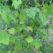 Photo of Mexican Sour Gherkin Cucumber (Melothria scabra)