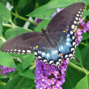 Location: My GardensDate: July 30, 2016A Powerful Attraction For Butterflies #Pollination #But