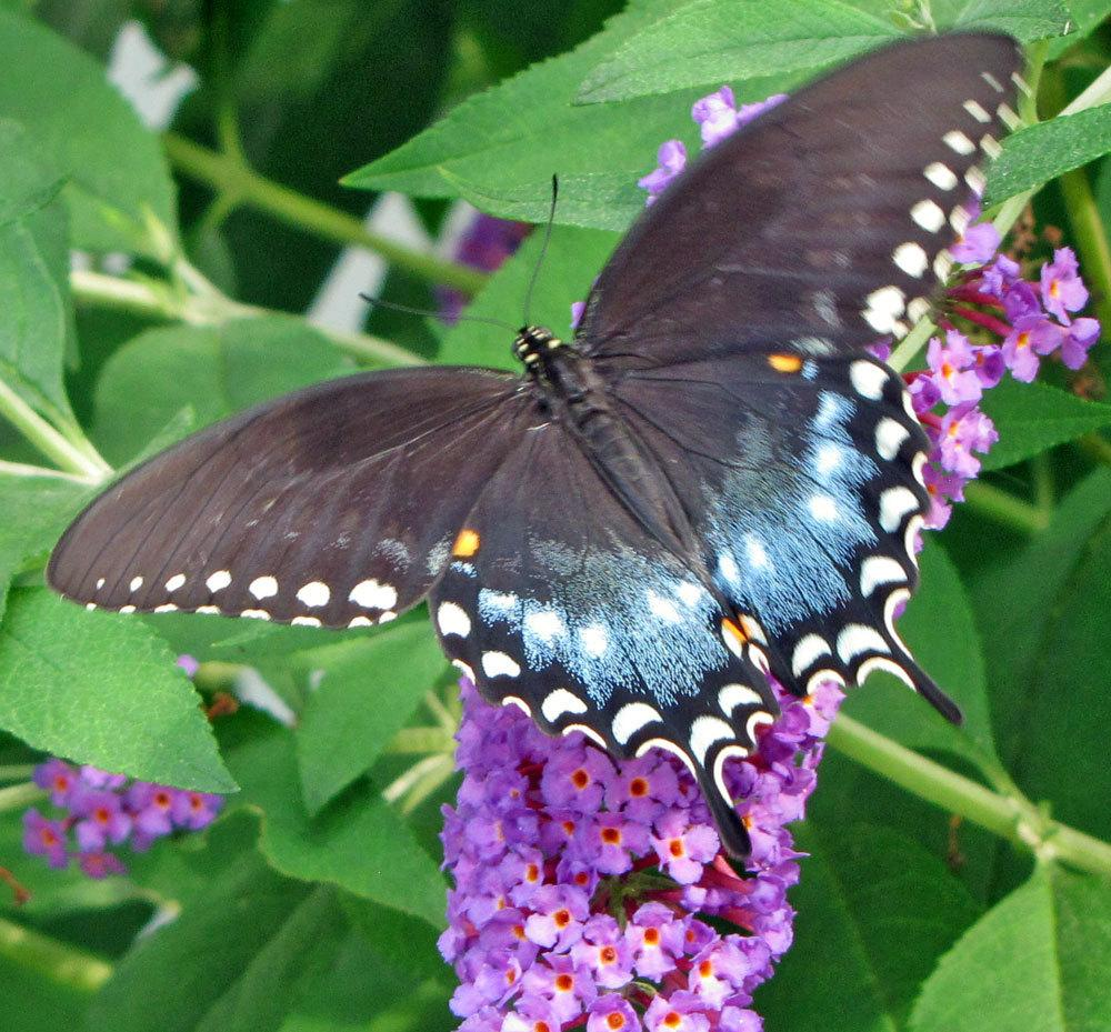 Photo of Butterfly Bush (Buddleja davidii 'Nanho Blue') uploaded by TBGDN