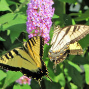 Location: My GardensDate: July 30, 2016#Pollination  Magnetic Attraction For #Butterflies