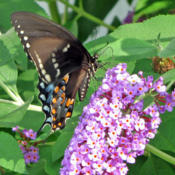 Location: My GardensDate: July 30, 2016Strong Attraction For #Butterflies #Pollination