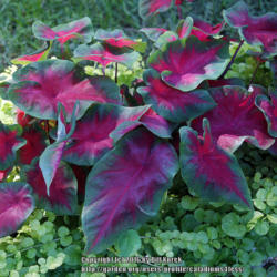 Thumb of 2016-10-23/caladiums4less/eec194