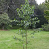 Photo of Wilson Dogwood (Cornus wilsoniana)