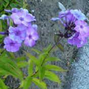 Location: Nora's Garden - Castlegar, B.C.Date: 2016-07-10 6:54 pm.  A lovely Phlox -  whatever colour it chooses to show.