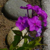 Location: Nora's Garden - Castlegar, B.C.Date: 2015-07-10 2:28 pm.  New blossoms are sometimes more of a rosy violet colou
