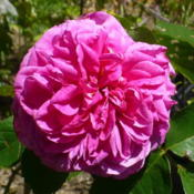 Photo of Rose (Rosa 'Gertrude Jekyll')