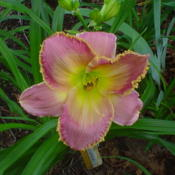 Photo of Daylily (Hemerocallis 'Magic Filigree')