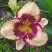 Photo of Daylily (Hemerocallis 'Eye Catching')