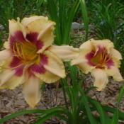 Photo of Daylily (Hemerocallis 'Bayou Bride')