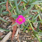 Photo of Pigface (Carpobrotus glaucescens)