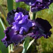 Photo of Tall Bearded Iris (Iris 'Fabric of Dreams')