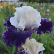 Photo of Tall Bearded Iris (Iris 'Fast Talker')