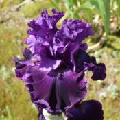 Photo of Tall Bearded Iris (Iris 'Fine Drop')
