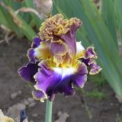 Photo of Tall Bearded Iris (Iris 'Fancy Ideas')