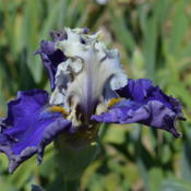 Photo of Tall Bearded Iris (Iris 'Espionage')