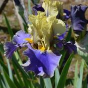Photo of Tall Bearded Iris (Iris 'First Avenue')
