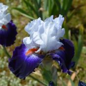 Photo of Tall Bearded Iris (Iris 'Favorite Beau')