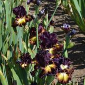 Photo of Tall Bearded Iris (Iris 'Fire Danger')