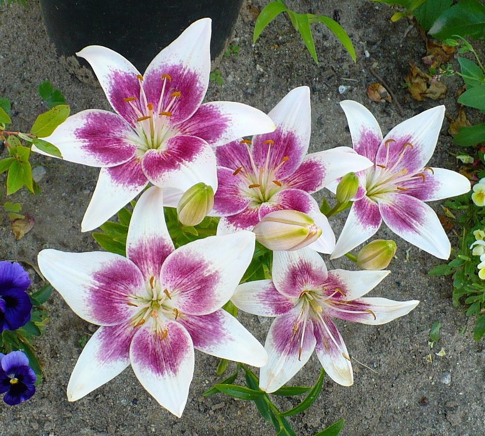 Lilies Plant Care And Collection Of Varieties Garden