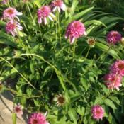 Location: Orangeburg, SCDate: 2016-10-27Echinacea Pink Double Delight is a delightful sight when in bloom