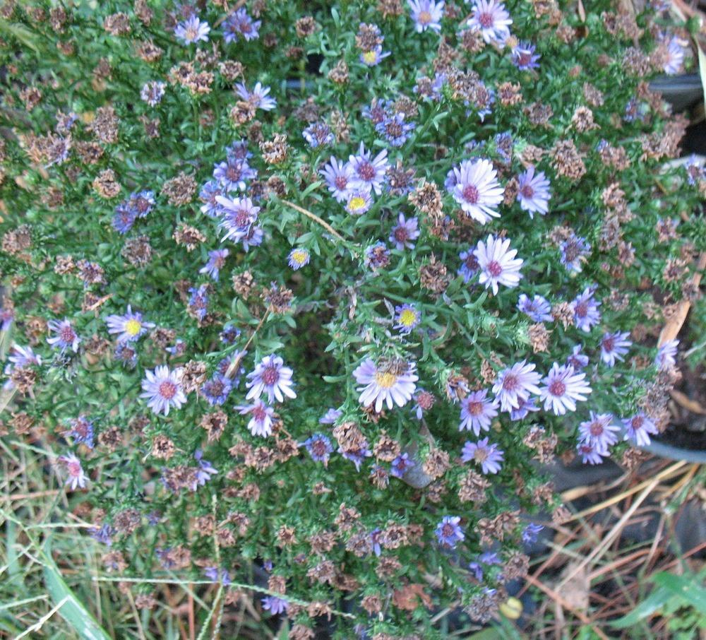 Photo of Asters (Aster) uploaded by Lalambchop1