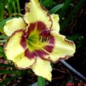 Photo of Daylily (Hemerocallis 'Steve Trimmer')