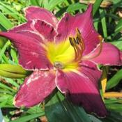 Photo of Daylily (Hemerocallis 'Stephane Grappelli')
