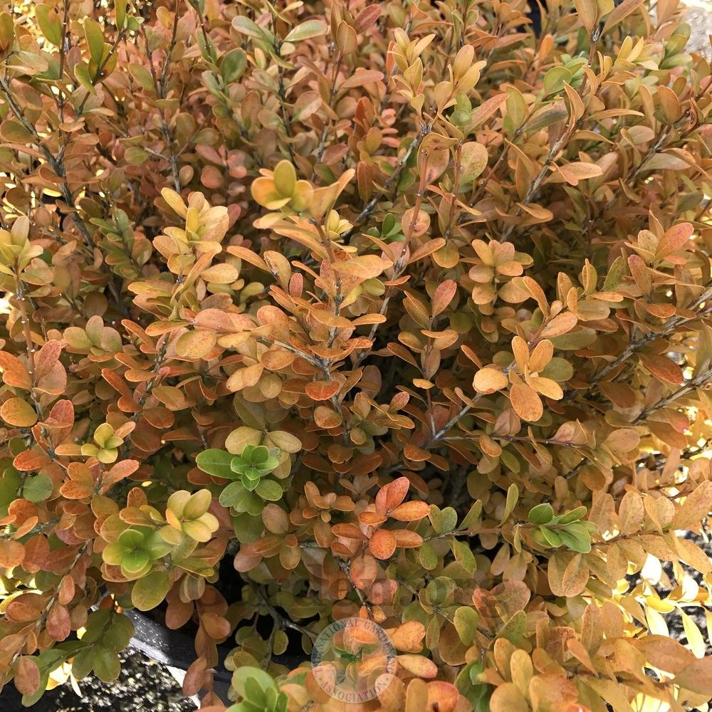 Photo of the fall color of Korean Boxwood (Buxus sinica var ...