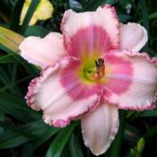 Photo of Daylily (Hemerocallis 'Strawberry Fields Forever')