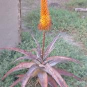 Location: Baja CaliforniaDate: 2016-10-28Aloe africana x