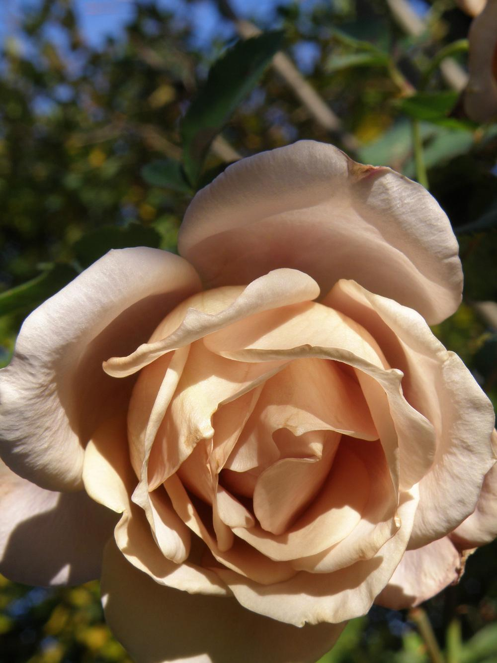 Photo of the bloom of Rose (Rosa \'Julia\'s Rose\') posted by IrisLilli ...