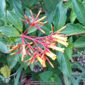 Location: My gardenDate: Summer 2014This is one of four hamelia patens I have in my yard.