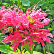 Location: My GardensDate: June 24, 2016Strong Attraction For Bees #Pollination #Bumble Bees