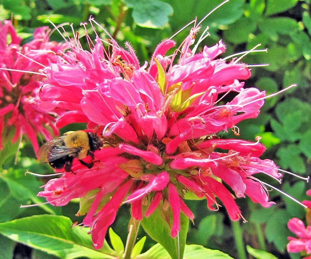 Photo of Beebalm (Monarda didyma 'Marshall's Delight') uploaded by TBGDN