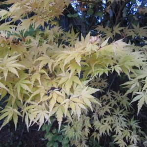 Japanese Maple Acer Palmatum Red Wood Gardenorg