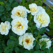 Location: Nora's Garden - Castlegar, B.C.Date: 2012-08-11 5:56 pm. The wonderfully strong fragrance is a joy to