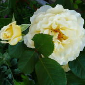 Location: Nora's Garden - Castlegar, B.C.Date: 2012-05-10 4:00 pm. A full petalled pale yellow Floribunda with s