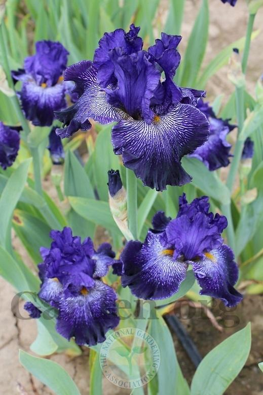 Photo of Tall Bearded Iris (Iris 'Clotho's Web') uploaded by HighdesertNiki