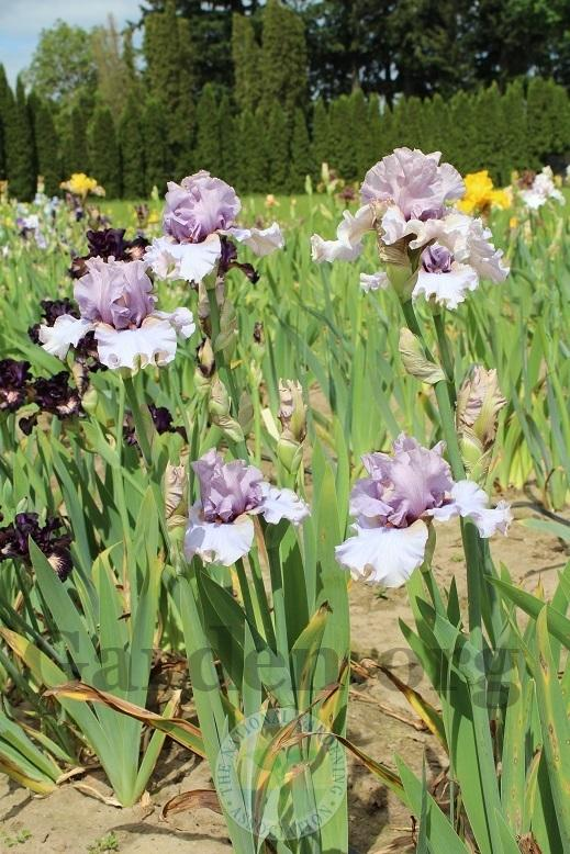 Photo of Tall Bearded Iris (Iris 'Dancing Ghost') uploaded by HighdesertNiki