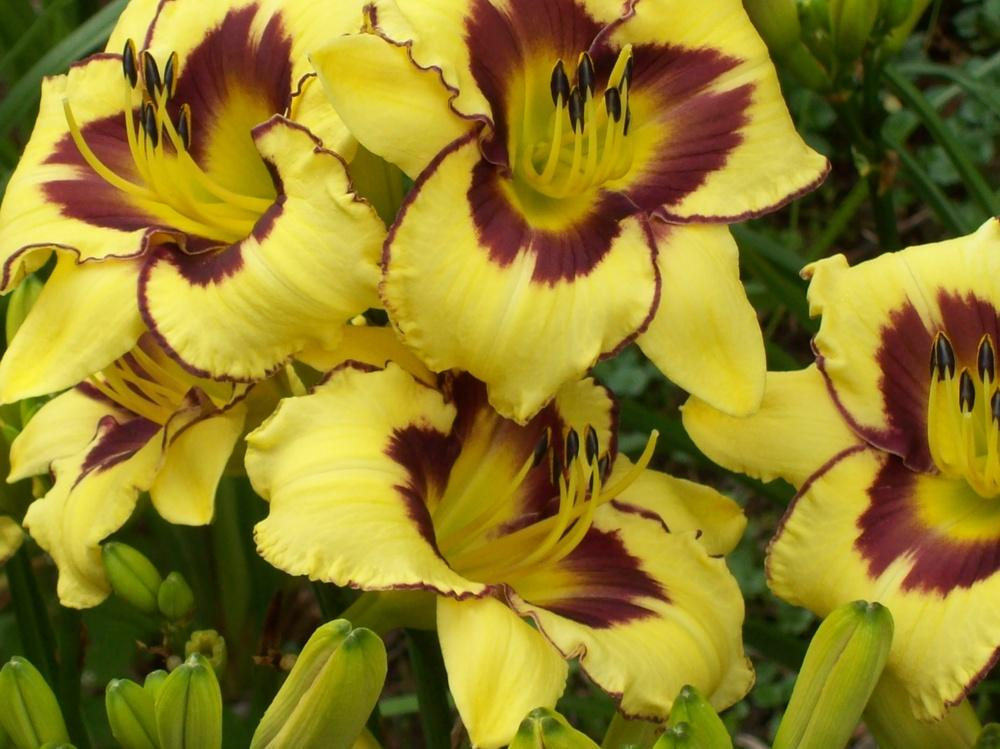 Photo of Daylily (Hemerocallis 'El Desperado') uploaded by hillbilly