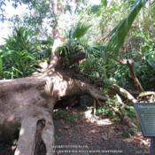 Location: McKee Botanical Garden, Vero Beach, FloridaDate: 2016-11-06Tree was blown over during Hurricane David, 1979 and landed in th