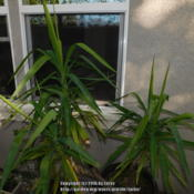 Location: In our garden - San Joaquin County, CADate: 2016-11-08 - Fall SeasonOur Yucca in a container