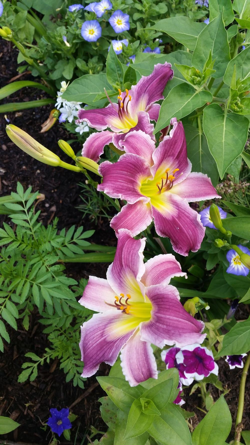 Photo of Daylily (Hemerocallis 'Indian Giver') uploaded by javaMom