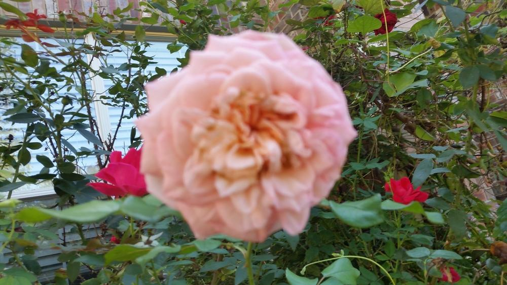 Photo of Rose (Rosa 'Savannah') uploaded by javaMom