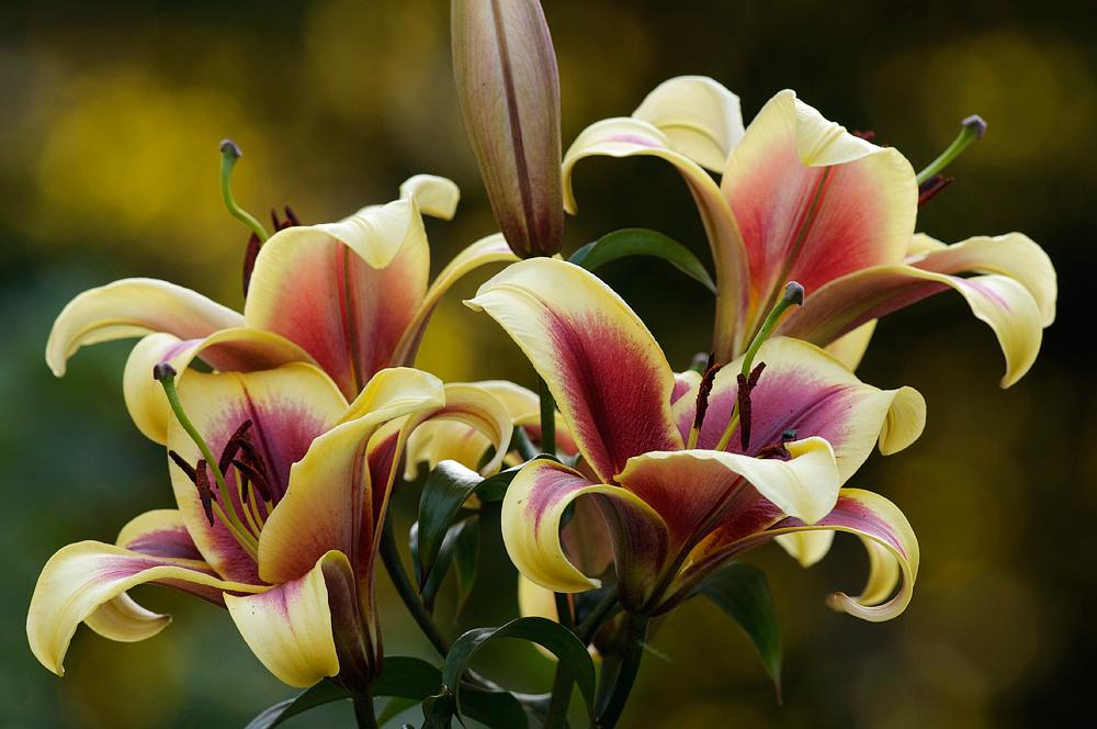 lilies plant care and collection of varieties garden org
