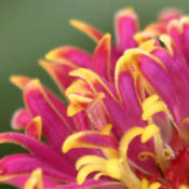 Location: My North zinnia gardenDate: July 2014The floret teeth are frequently tipped a contrasting co