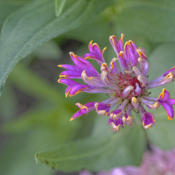 Location: My North zinnia gardenDate: September 2015Razzle Dazzle variants can be asymmetrical