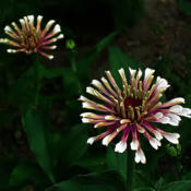 Location: My South zinnia gardenDate: May 2014Some Whirligigs look like fireworks in the evening