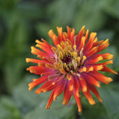 Location: My South zinnia gardenDate: September 2014Some Whirligigs have 3 colors on each petal.